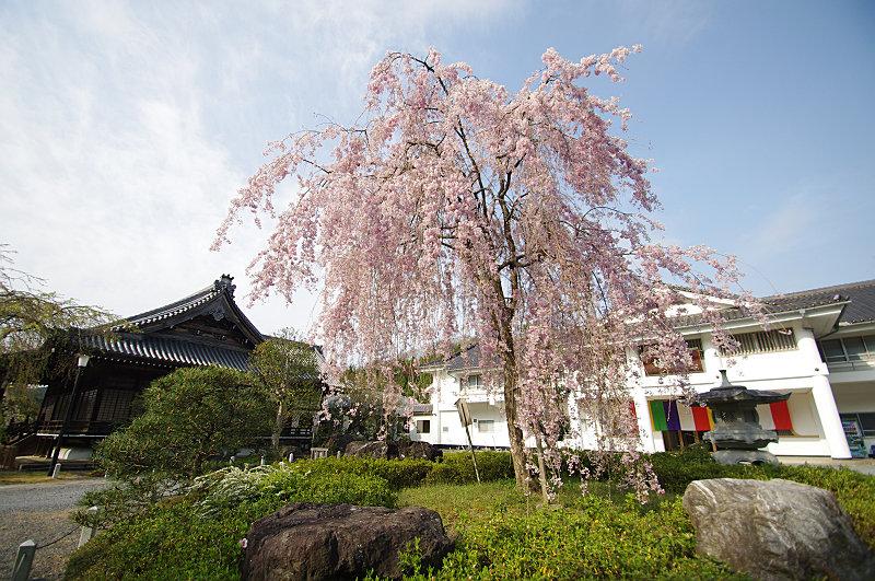 妙満寺 紅枝垂桜