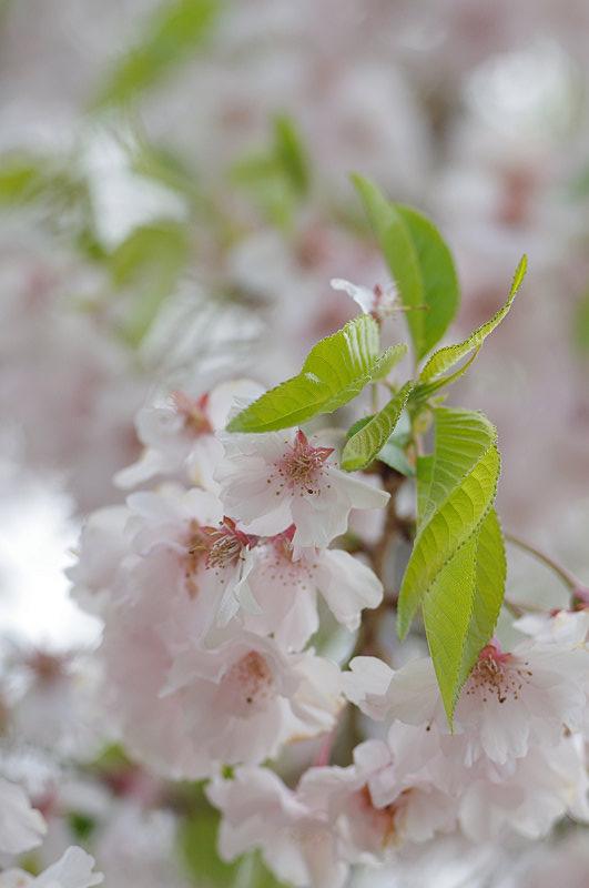 葉桜の鮮やかに