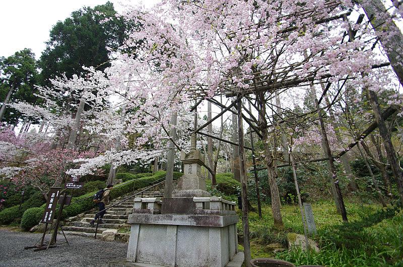 三千院 枝垂れ桜