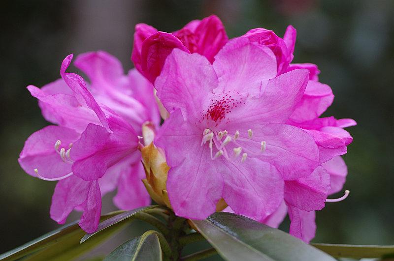 三千院 石楠花も咲く