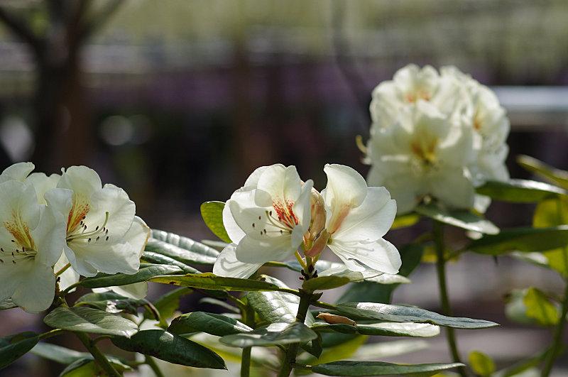 石楠花と藤