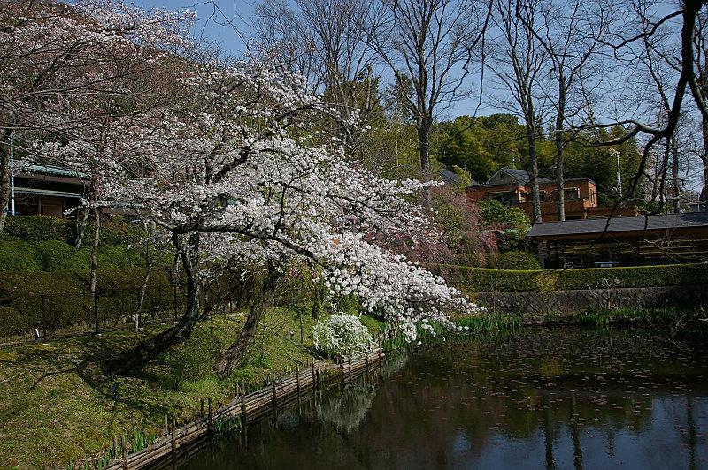 通りがかりの池の桜
