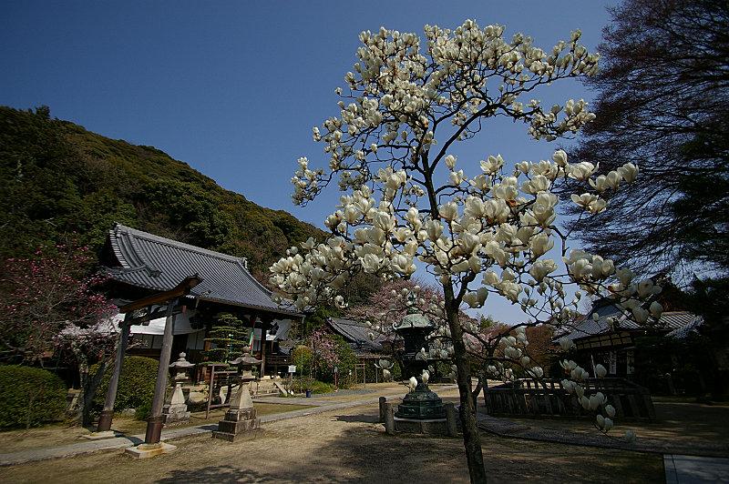 山崎聖天の白木蓮