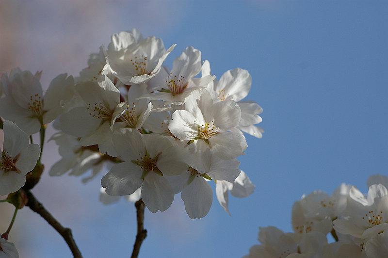青空をバックに桜