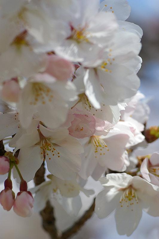 桃色から白色へ