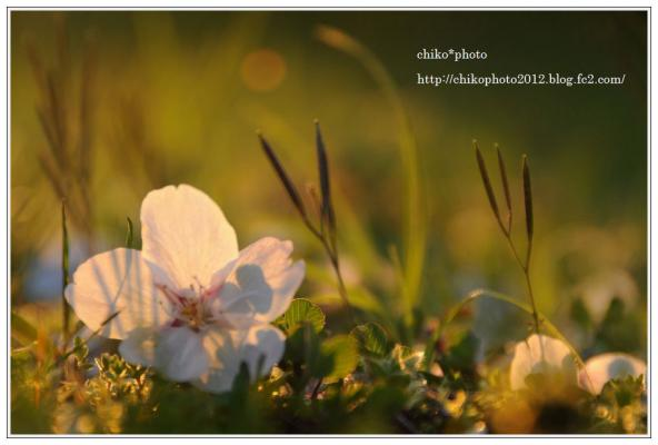 photo-107 夕日に染まる桜