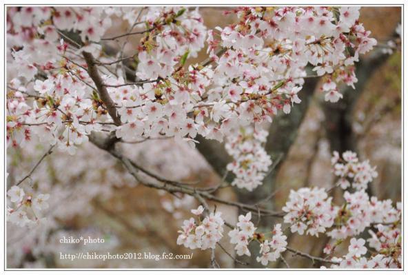 photo-108 散り始める桜_1