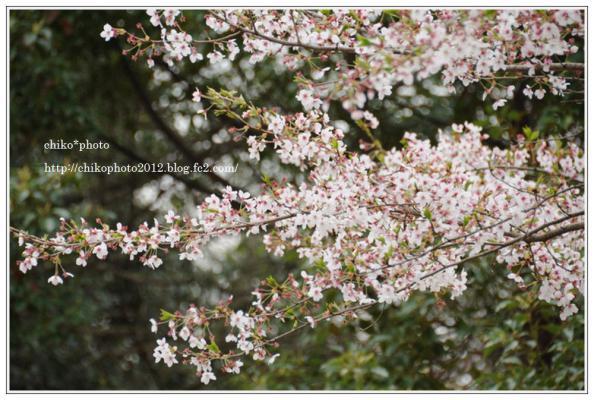 photo-108 散り始める桜_2