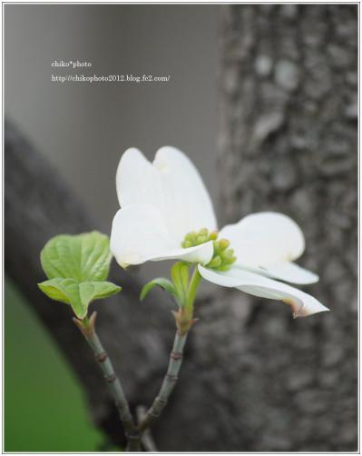 photo-109 白いハナミズキ