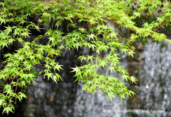 photo-110  新緑のもみじ