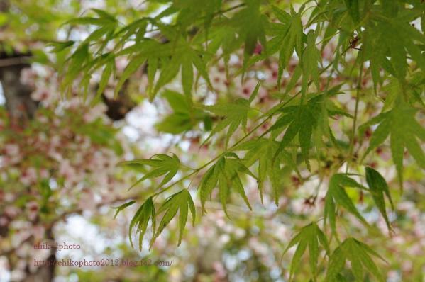photo-112 新緑ももみじと葉桜3