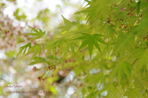 photo-112 新緑ももみじと葉桜2