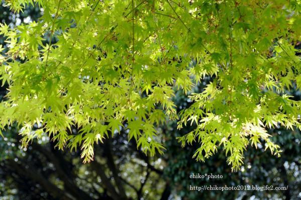photo-111 新緑のもみじ2_2