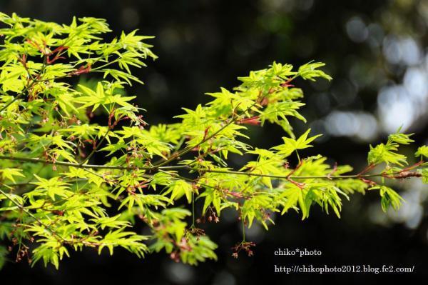 photo-111 新緑のもみじ2_1