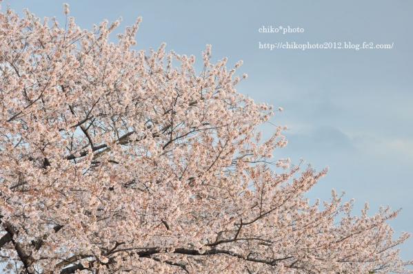 photo-114 The last 桜 photo 2012