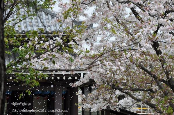 photo-113 舞い散る桜