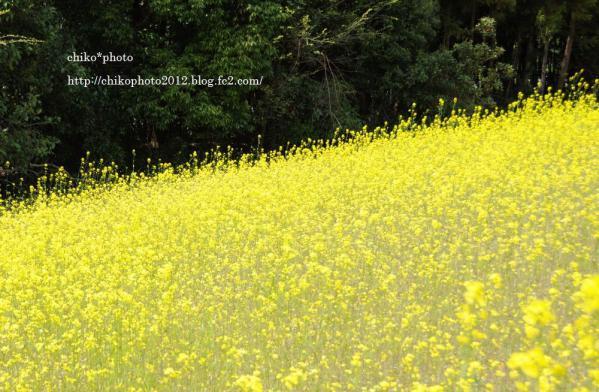 photo-116 菜の花2012_3