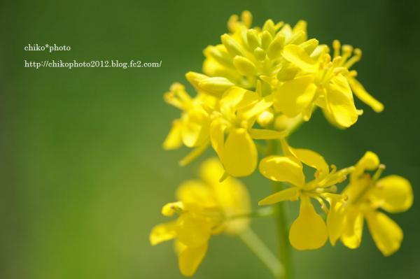 photo-116 菜の花2012_2