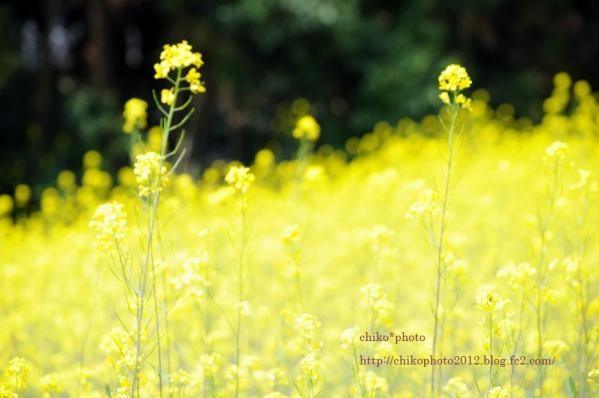 photo-116 菜の花2012_1