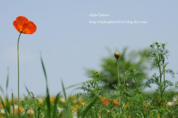 photo-117 ポピー2012_2