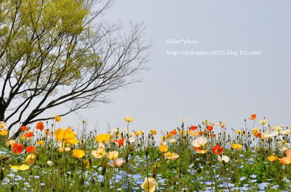 photo-117 ポピー2012_3