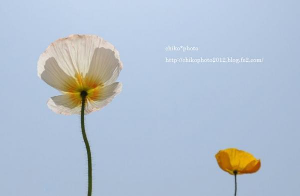 photo-119 ポピー2012_4