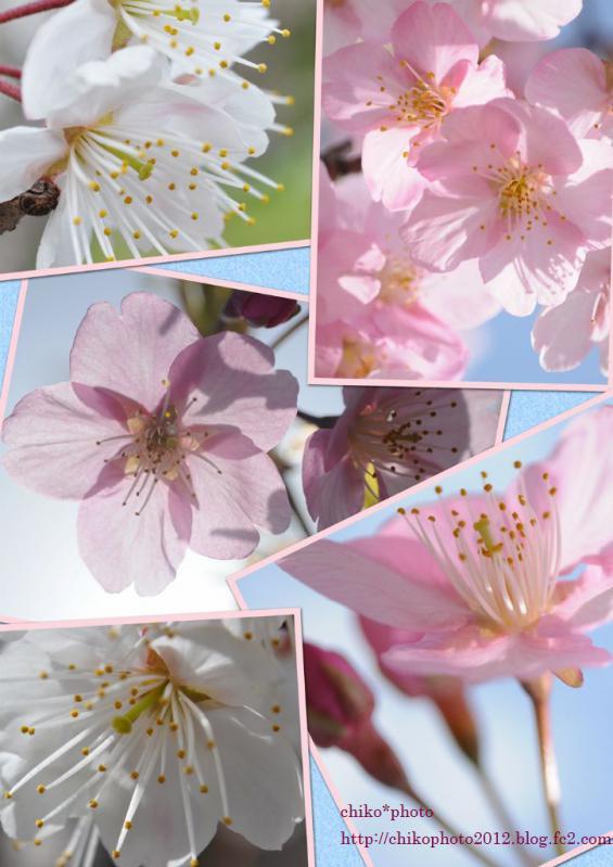 sakura_20120322215950.jpg