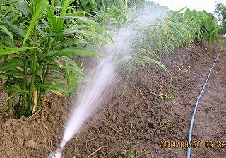 生姜の潅水