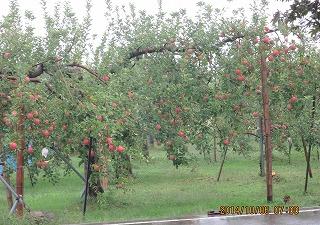 雨で煙るりんご園