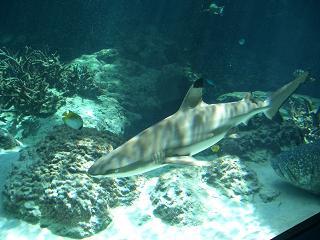 マツグロサメ