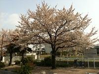 sakura_20120406134023.jpg