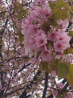 cherry-odouri.jpg