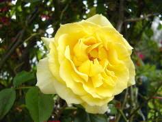 花黄色いバラ 9bara0014[1]