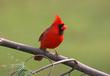 02鳥赤い鳥1羽