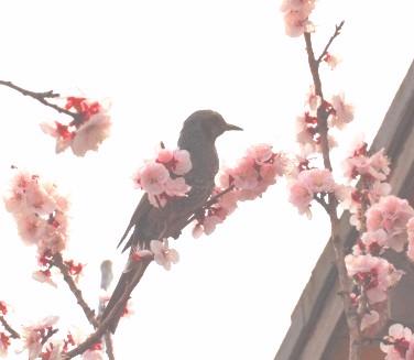 30鳥と桜