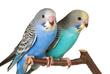 01鳥インコ2羽