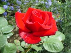 花赤いバラ10bara0016[1]