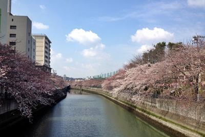 大岡川の桜0406