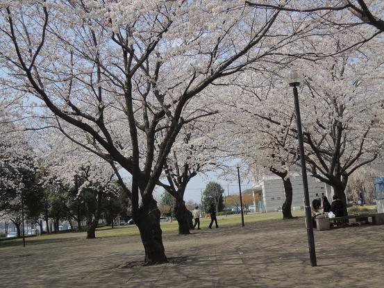 130324-20sakura03.jpg