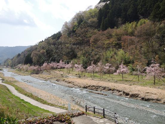 130405-24shidarezakura02.jpg