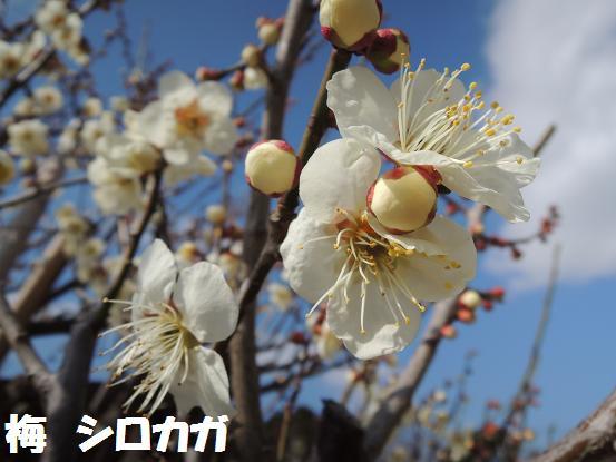 130302-18ume shirokaga