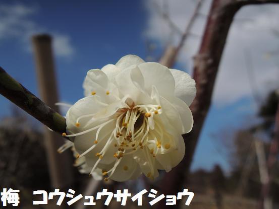130302-20ume koushusaishou
