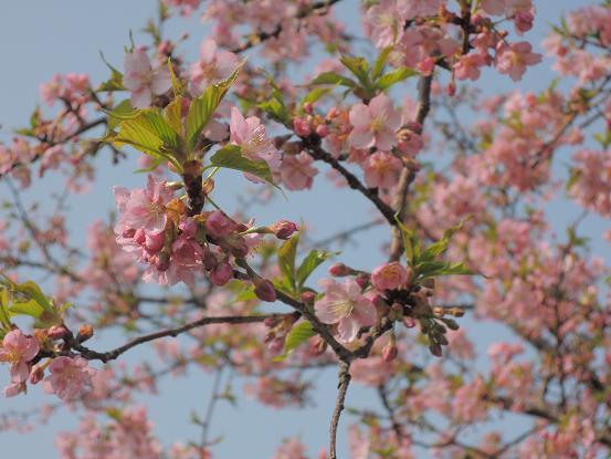 130310-04kawadu sakura
