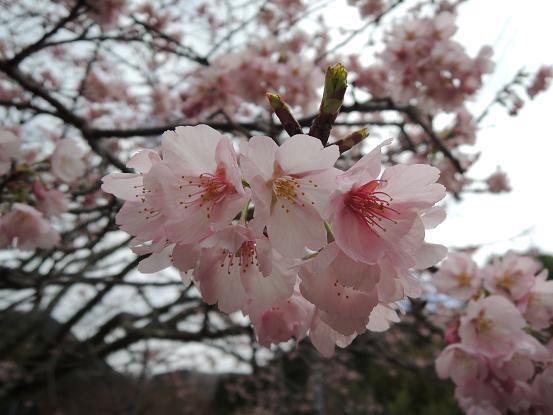 130315-13-02sakura of nanadaru