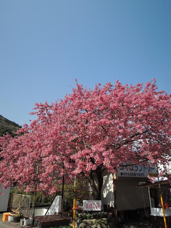 130315-13-03yuuki no sakura