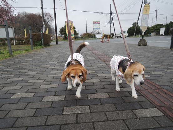 130330-08cookychara walk on miyagase