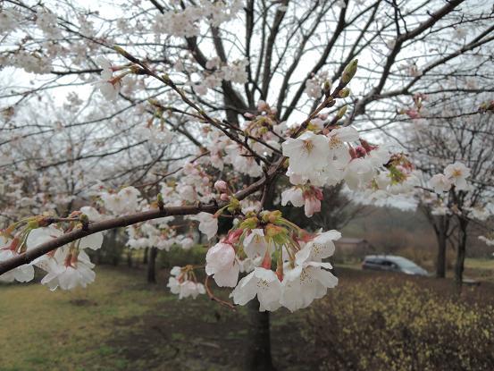 130330-09sakiura of sakura