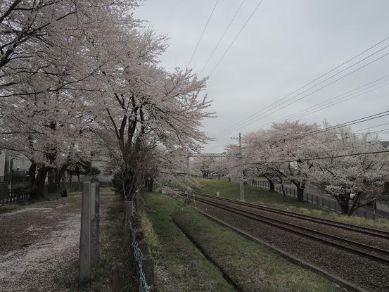 130330-14sakura of odakyu01