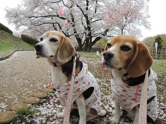 130330-22cookychara in sakura