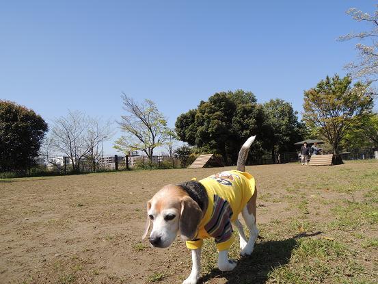 130413-05cooky walk on dog run01